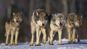 smečka vlků
