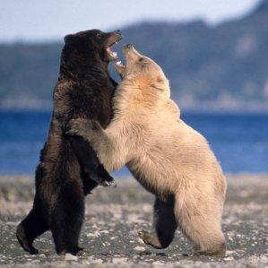 Plavý medvěd grizzly